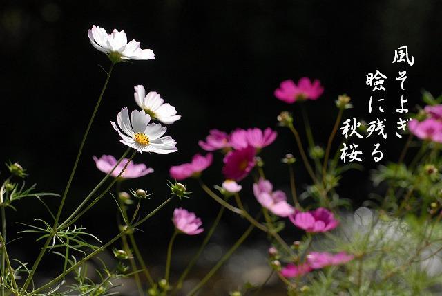 加茂川のコスモス4