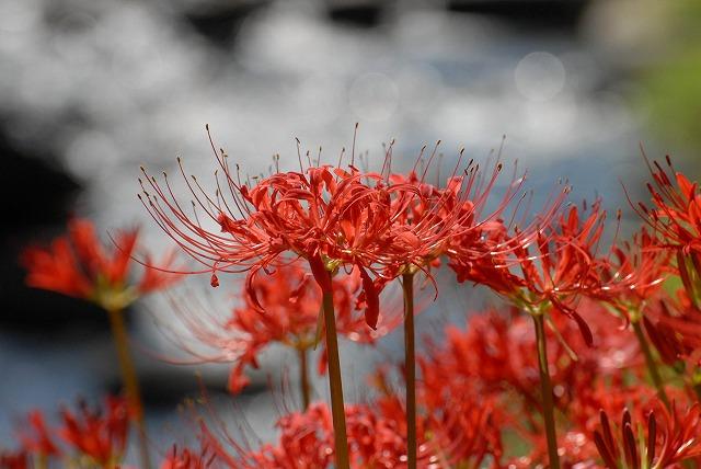 加茂川の彼岸花5