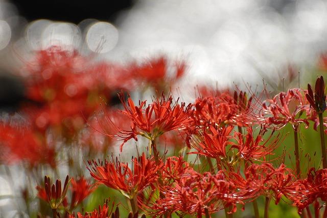 加茂川の彼岸花11