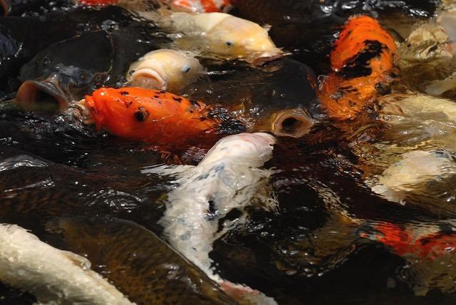 鯉ヶ窪湿原の鯉
