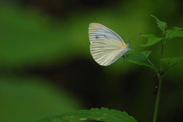 モンシロ蝶1