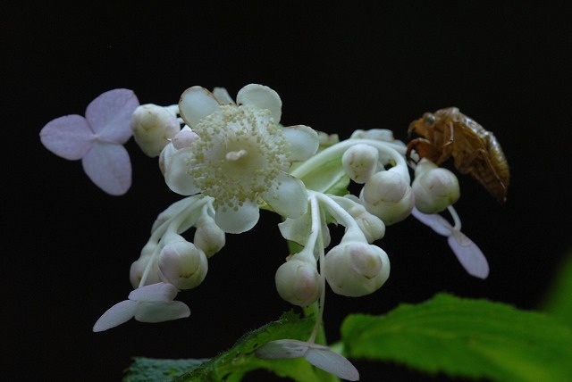 ギンバイソウと蝉の抜け殻