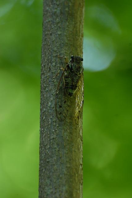 ヒグラシ蝉1