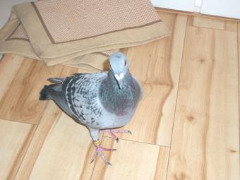 2007・10・29鳩