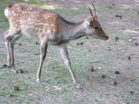奈良公園鹿1