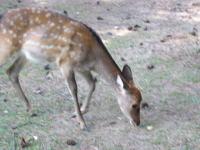 奈良公園鹿2