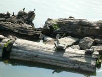 猿沢池の亀ちゃん達
