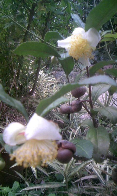 091020_113220お茶の花