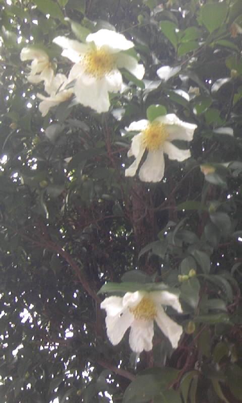 091026_145237山茶花?