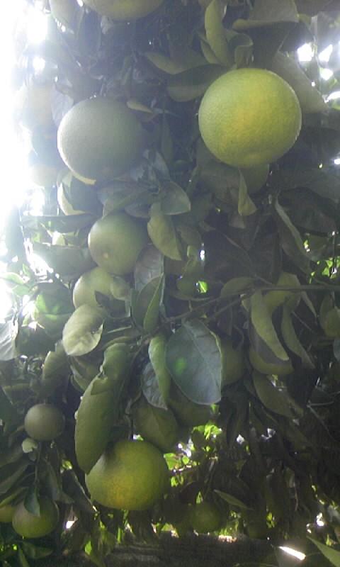 091028_131420柑橘