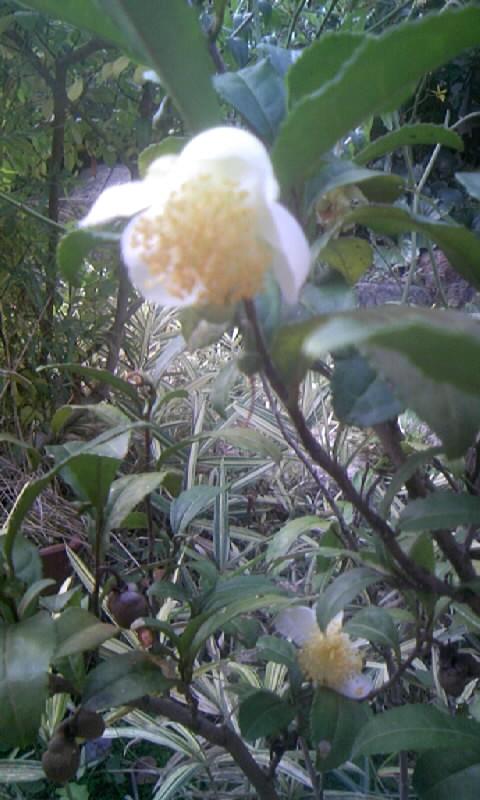 091105_075922お茶の花