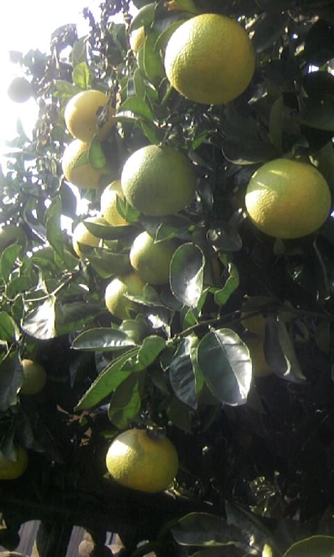 091110_090232柑橘
