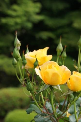 旧古河邸の薔薇⑦