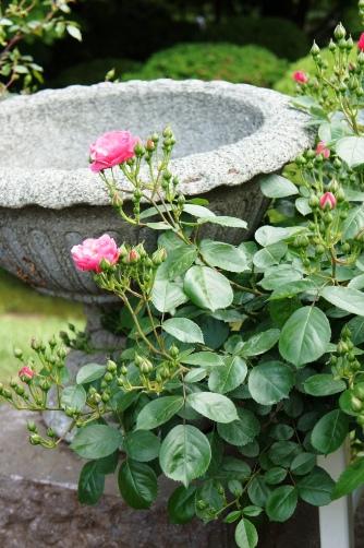 旧古河邸の薔薇⑥