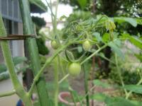 tomato6014.jpg