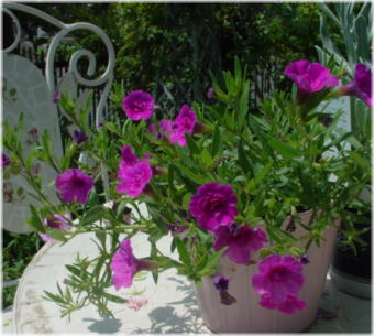 calibrachoa double dark pink