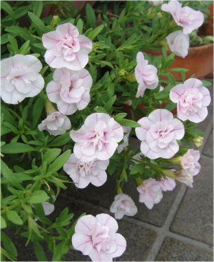 calibrachoa double pink