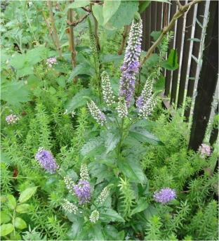 Veronica spicata `Blue Bouquet`