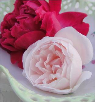 rosa odrata