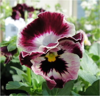pansy milfull