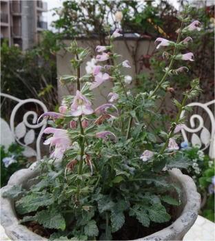 salvia taraxacifolia