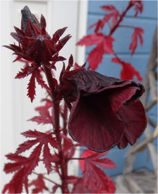 Hibiscus acetosella`Black King'