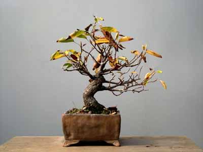 ざいふり木
