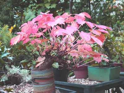 紅葉の夏蔦