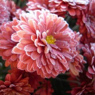 生きてこそ・・・氷を纏い、朝日を待つ花。