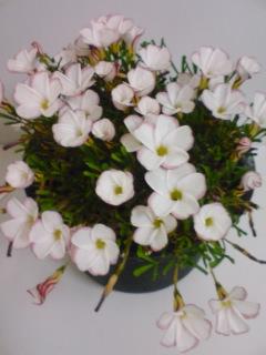 080301_オキザリス 開花