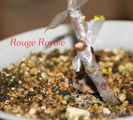 Grafting Rouge Royale0510200904