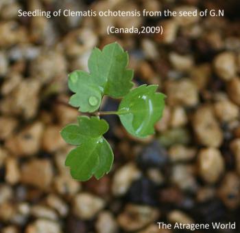 seedling ofochotensisGN2009