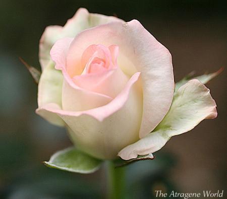 pinkrose2709200901.jpg