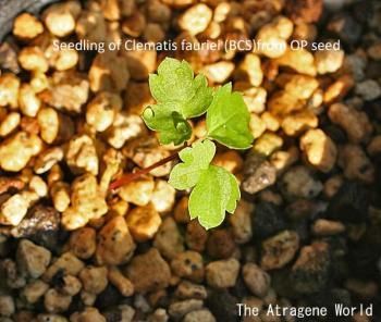 seedling(BCS)1310200901.jpg