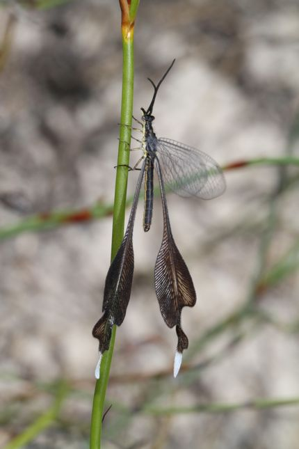 11:29Spoon-winged lacewing♂