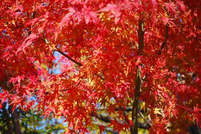 豪華な紅葉です
