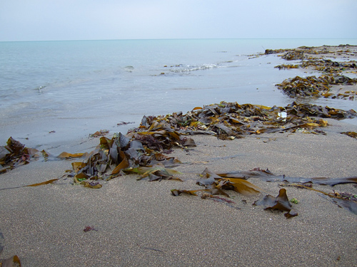 石狩の浜 昆布