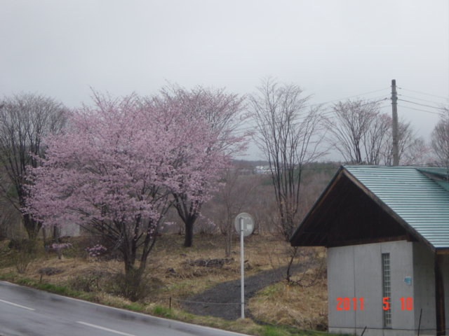 キャンプ場の桜