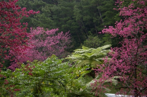 緋寒桜とヒカゲヘゴ-s