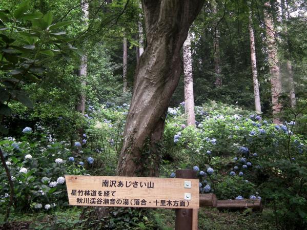 五日市「南沢あじさい山」のアジサイ(1)