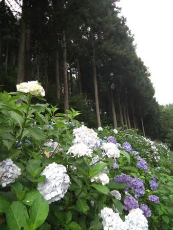 五日市「南沢あじさい山」のアジサイ(3)