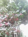 雪中の椿。