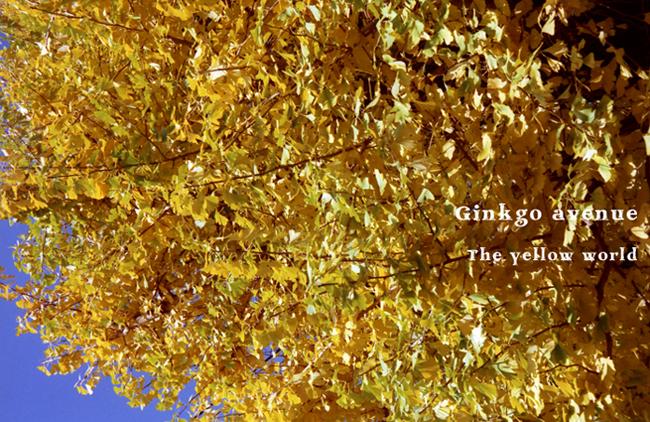 Ginkgo avenue2