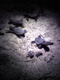 アカウミガメ孵化