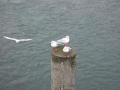 渡月橋と鳥2