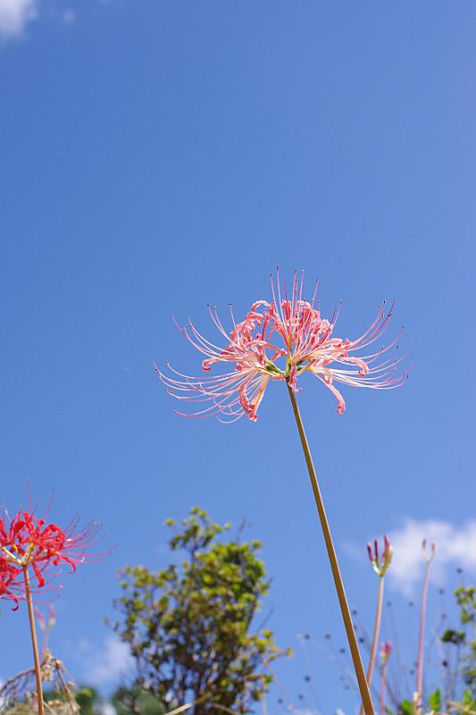 青空に見上げる彼岸花