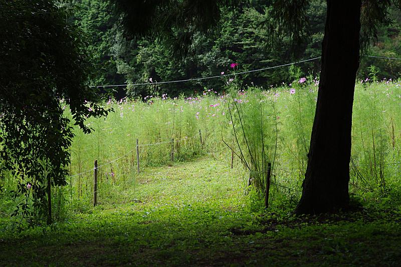 森の中からコスモス畑