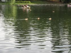 千鳥ヶ池の水鳥たち