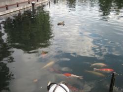 水鳥と一緒に泳ぐ鯉