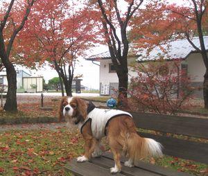 ショコラ 003公園紅葉1